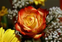 Yellow red Flamed Rose