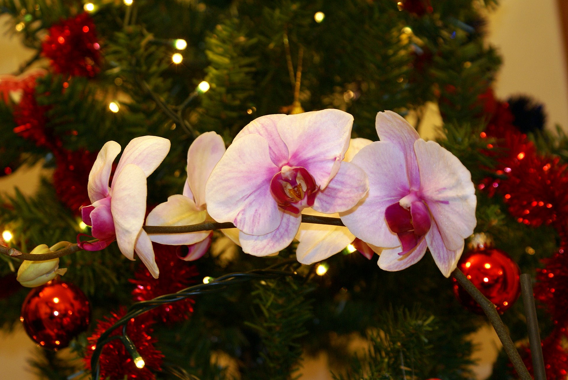 Orchids Near Christmas Tree