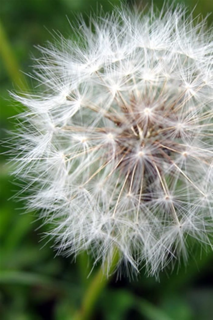 Dandelion clock wallpapers for free download about wallpapers.