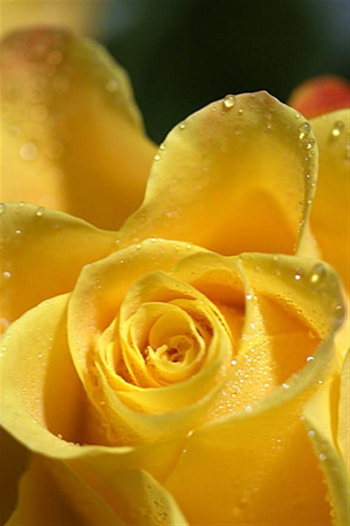 Katieyunholmes Wallpaper Yellow Rose