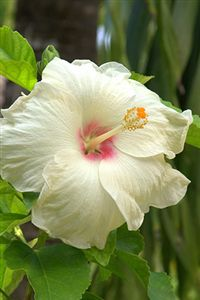 iphone hibiscus flower wallpaper
