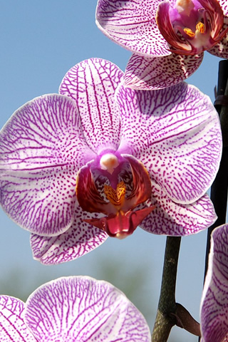 Iphone Orchid Wallpaper