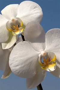 iphone white orchid wallpaper
