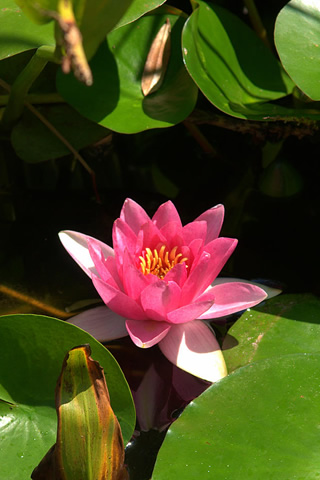 iphone pink lotus wallpaper