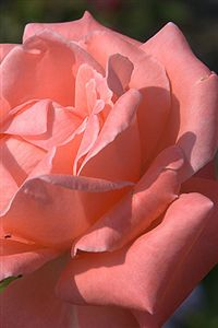 iphone pink rose wallpaper