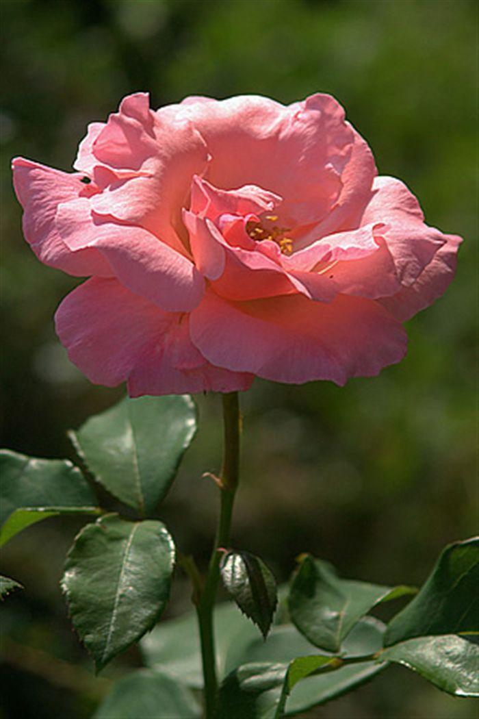 Iphone Pink Rose Wallpaper