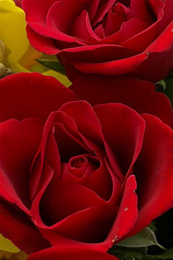 Iphone Red Rose Wallpaper