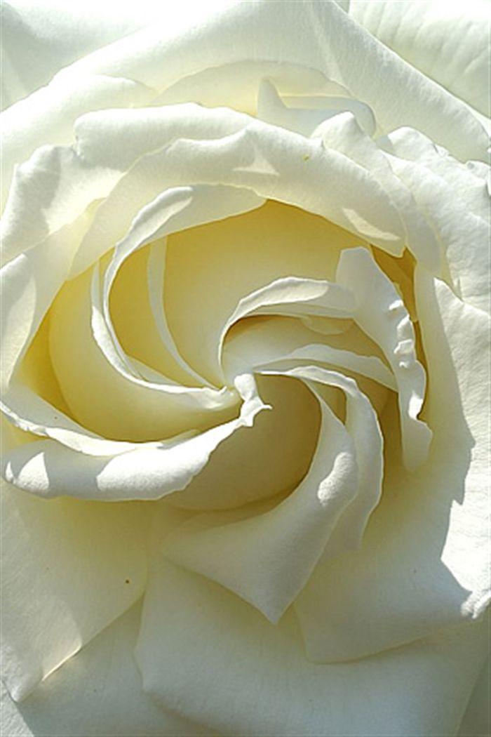 White Rose Iphone Wallpaper White Rose Macro Wallpaper