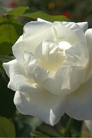 Iphone White Rose Wallpaper