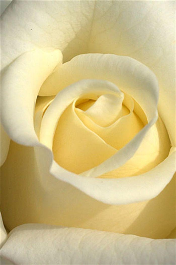 White Rose Iphone Wallpaper Iphone White Rose Wallpaper