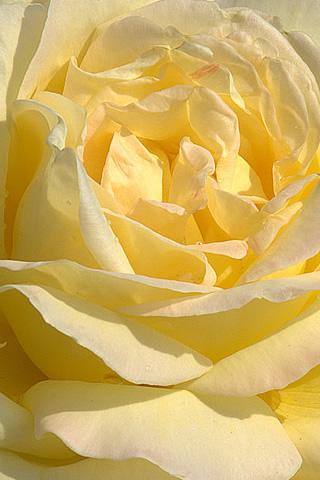 Iphone Yellow Rose Wallpaper