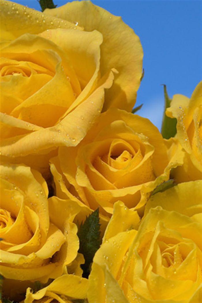 Iphone Yellow Roses Wallpaper