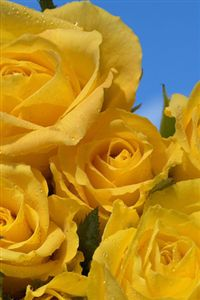 iphone yellow roses wallpaper