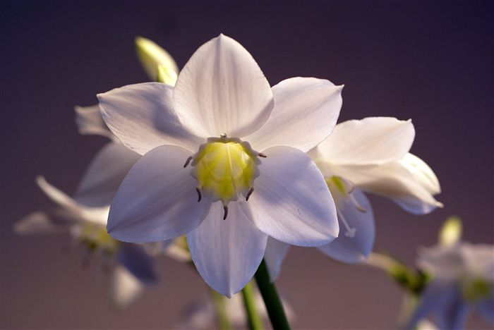 eucharis grandiflora photo