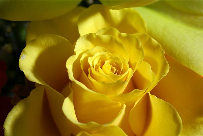 yellow rose photo close up