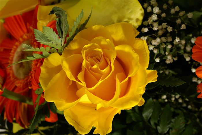 yellow rose photo macro