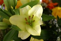 greenish little lilium