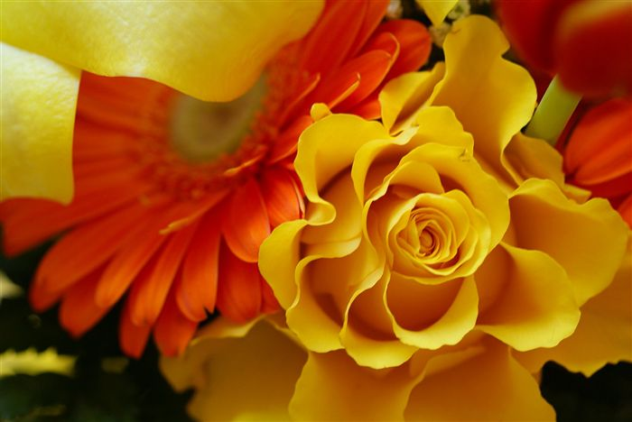 amazing yellow rose