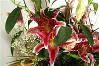 Lilium in bloom