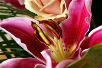 Lilium rose&nbsp;