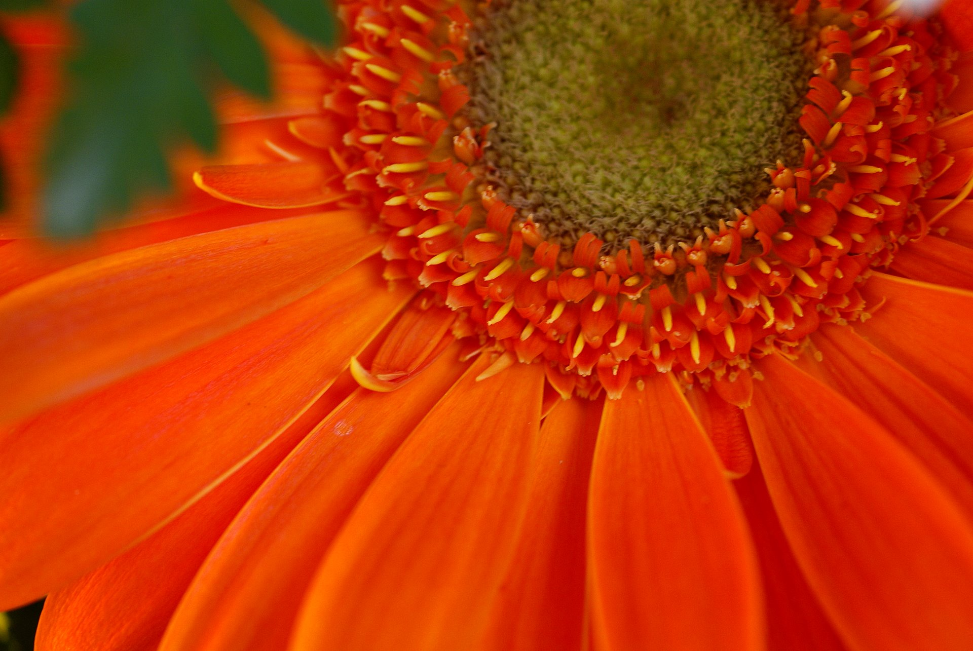 http://www.fabiovisentin.com/photography/photo/20/orange-gerber-daisy-flower-macro-photo.jpg