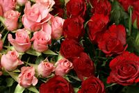 Pink and red roses photo