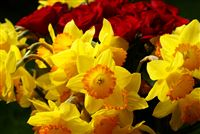 yellow narcissus bouquet