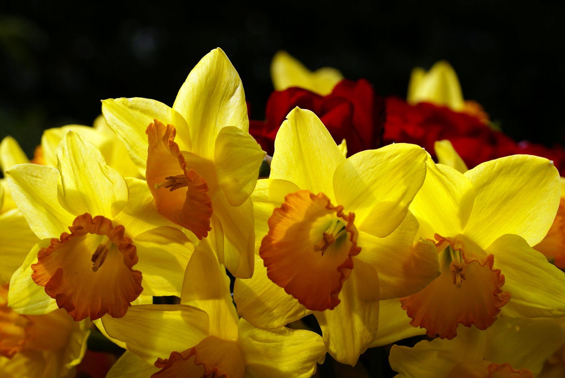 Yellow Daffodils Wallpaper Yellow Daffodils Photo