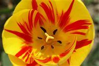 Fire Tulip macro