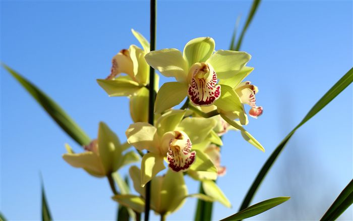Cymbidium widescreen wallpaper