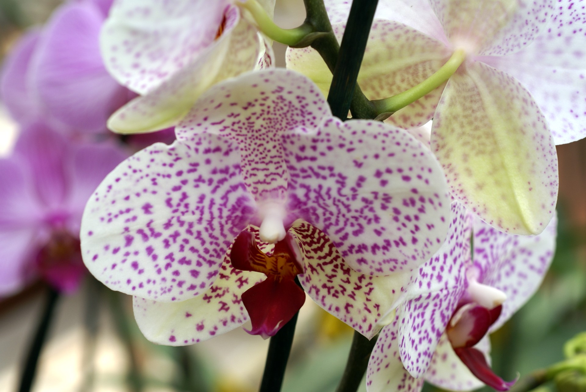 pink orchids close up - photo #9
