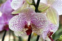 Rosa blanca salpicada Orquídeas cerca