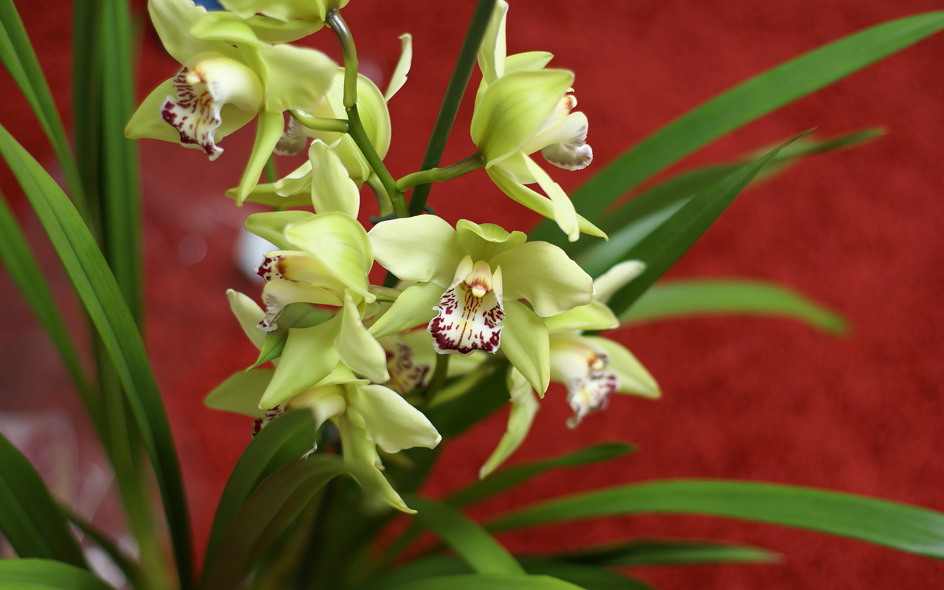 green yellow cymbidium orchid. Black Bedroom Furniture Sets. Home Design Ideas
