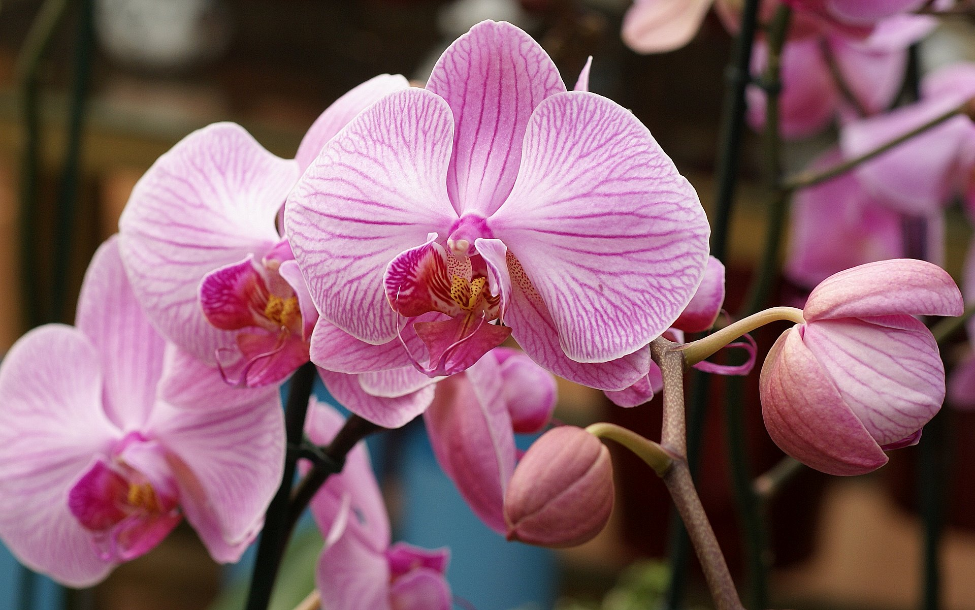 light pink orchid wallpaper