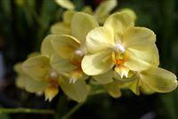 Amarillo Orquídeas cerca