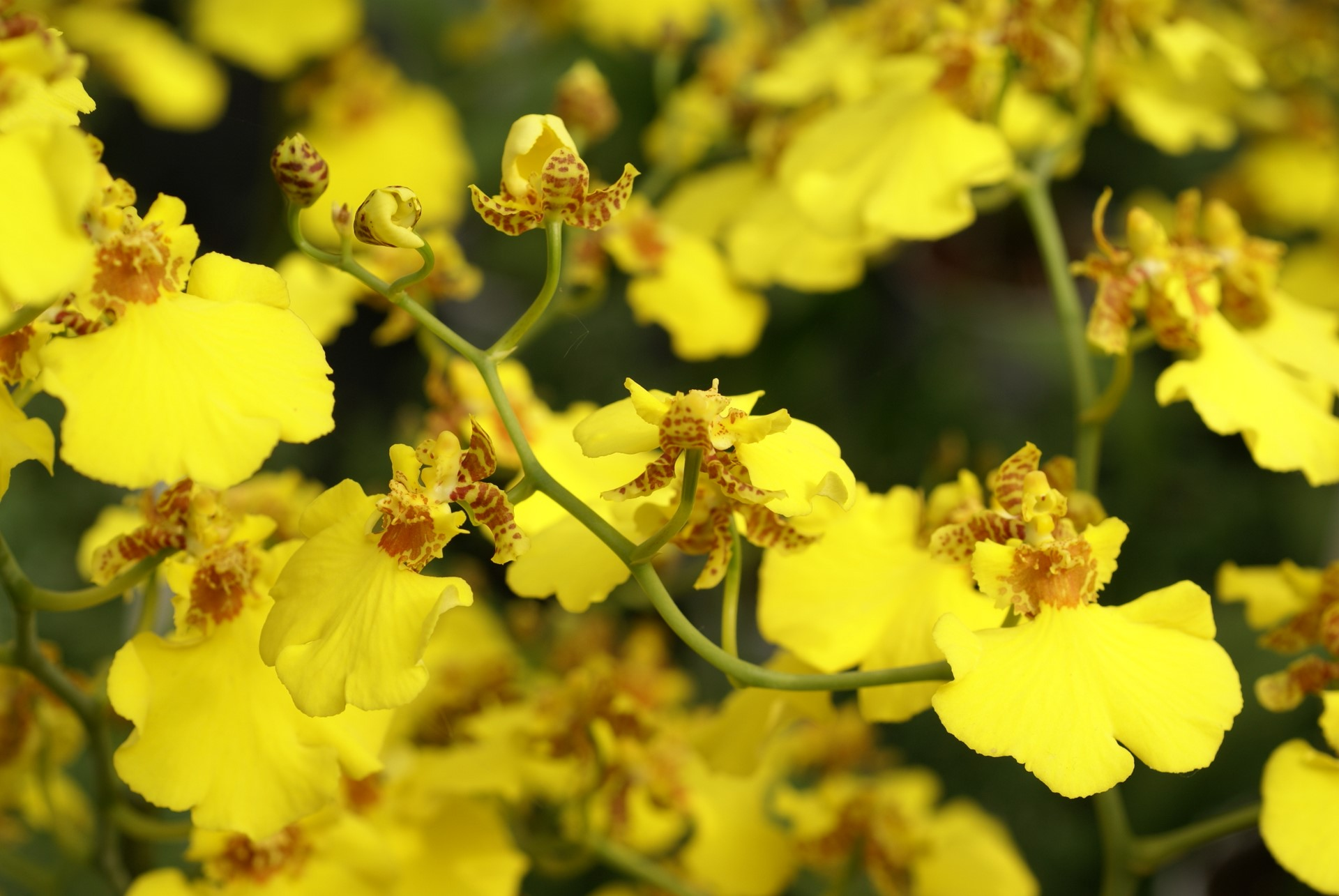 Oncidium Cebolleta Orchid