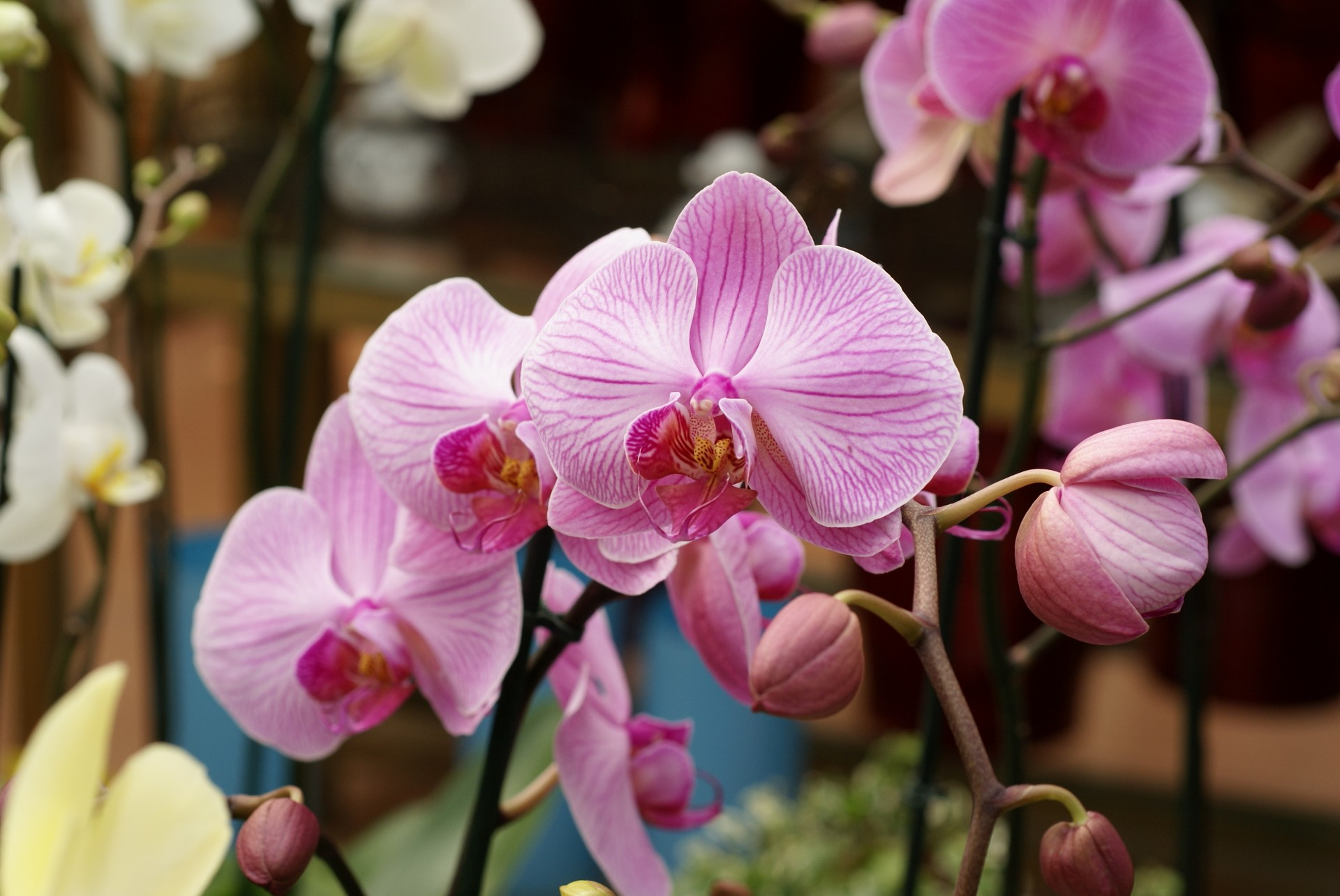 Pink Orchid Wallpaper