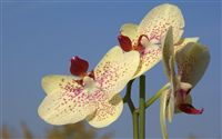 white orchid photo close up