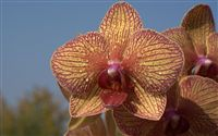 purple yellow orchid wallpaper