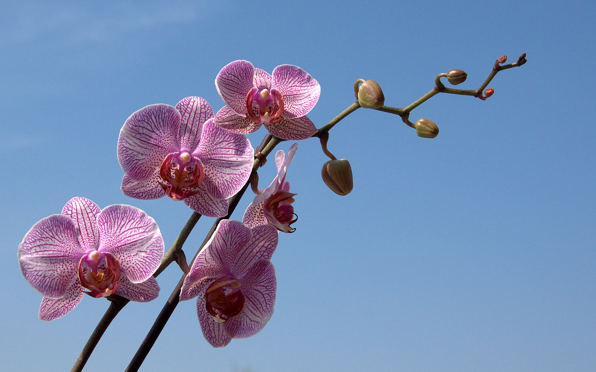phalaenopsis orchid wallpapers pictures - photo #2