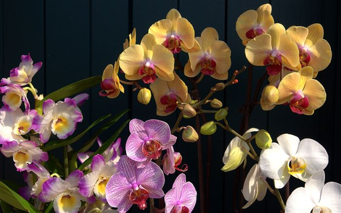 photo Orchids wallpaper