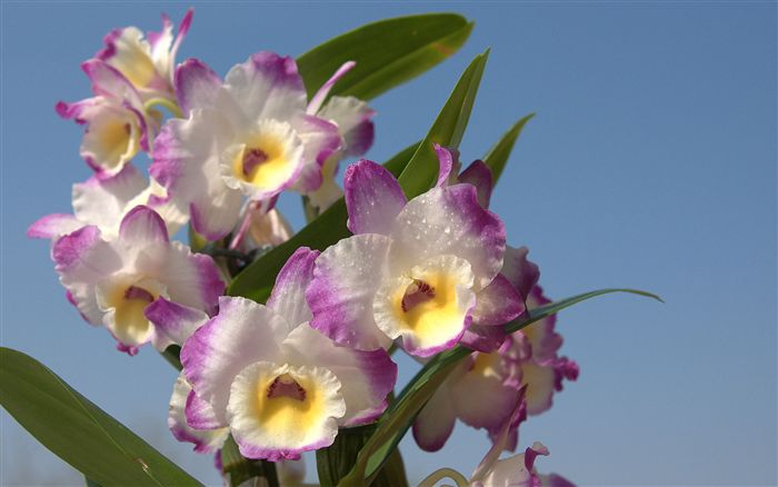 Cattleya Hybrid orchid wallpaper