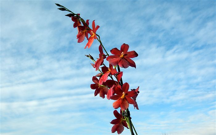 red Cambria orchid