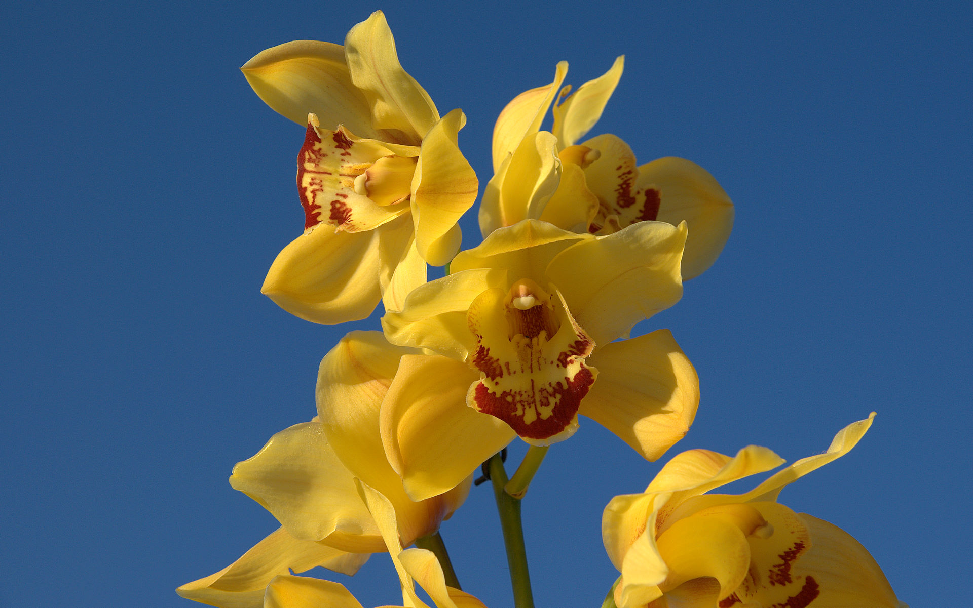 Cymbidium Orchid Colors Yellow Cymbidium Orchid