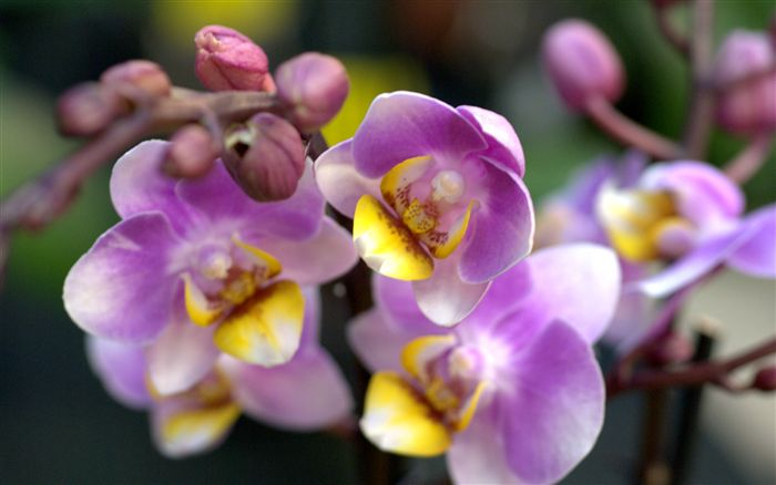 Violet yellow orchid