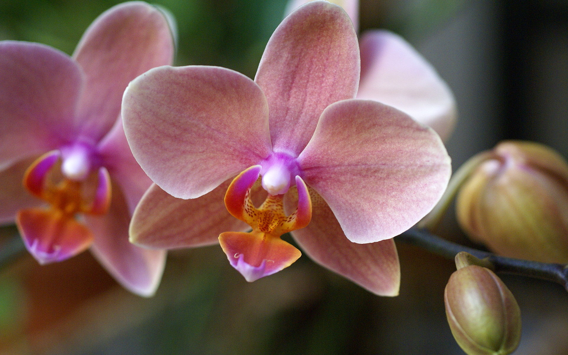 hybrid phalaenopsis orchid close up. Black Bedroom Furniture Sets. Home Design Ideas