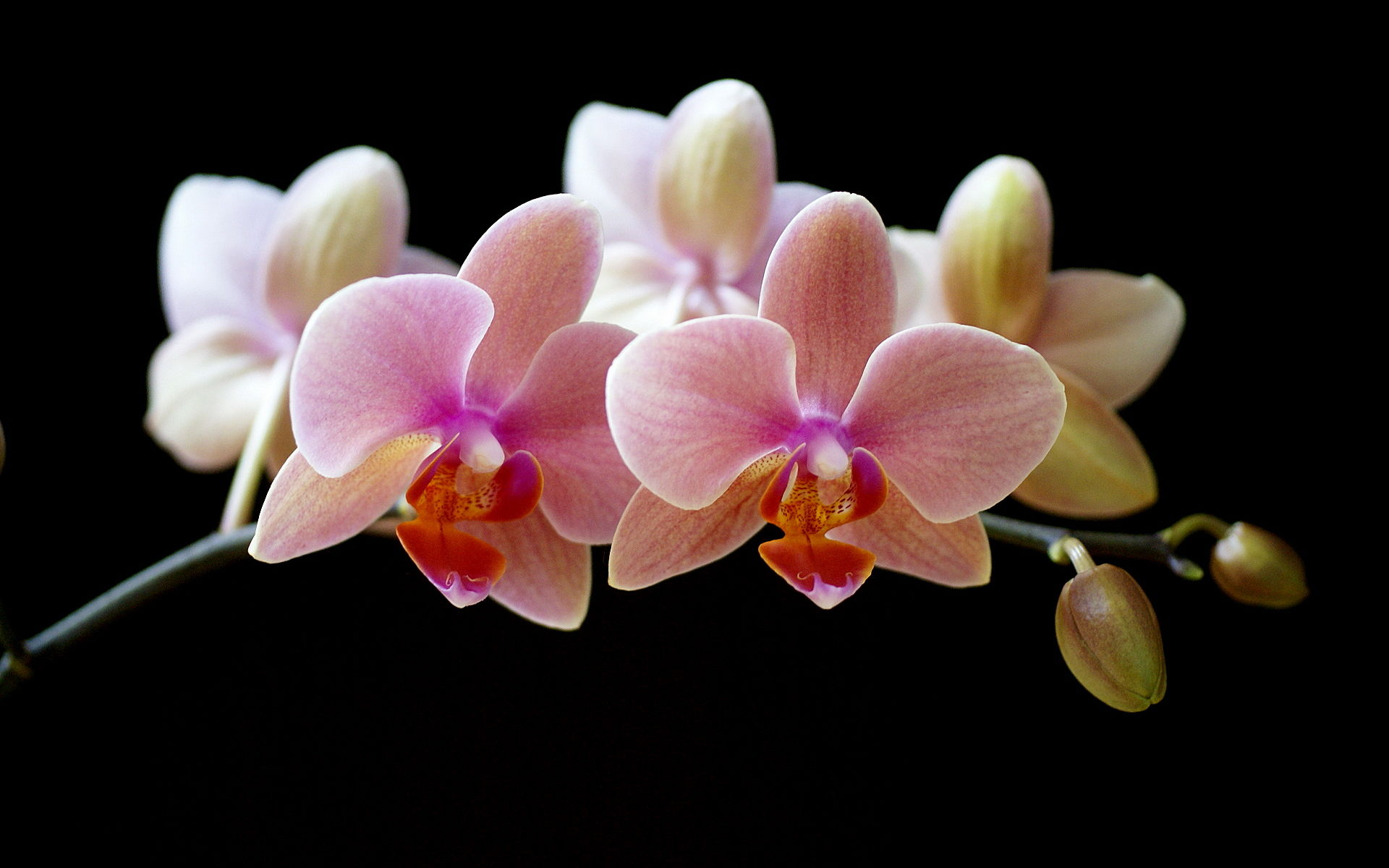 elegant orchid wallpaper in high resolution ideal for widescreen 16:10