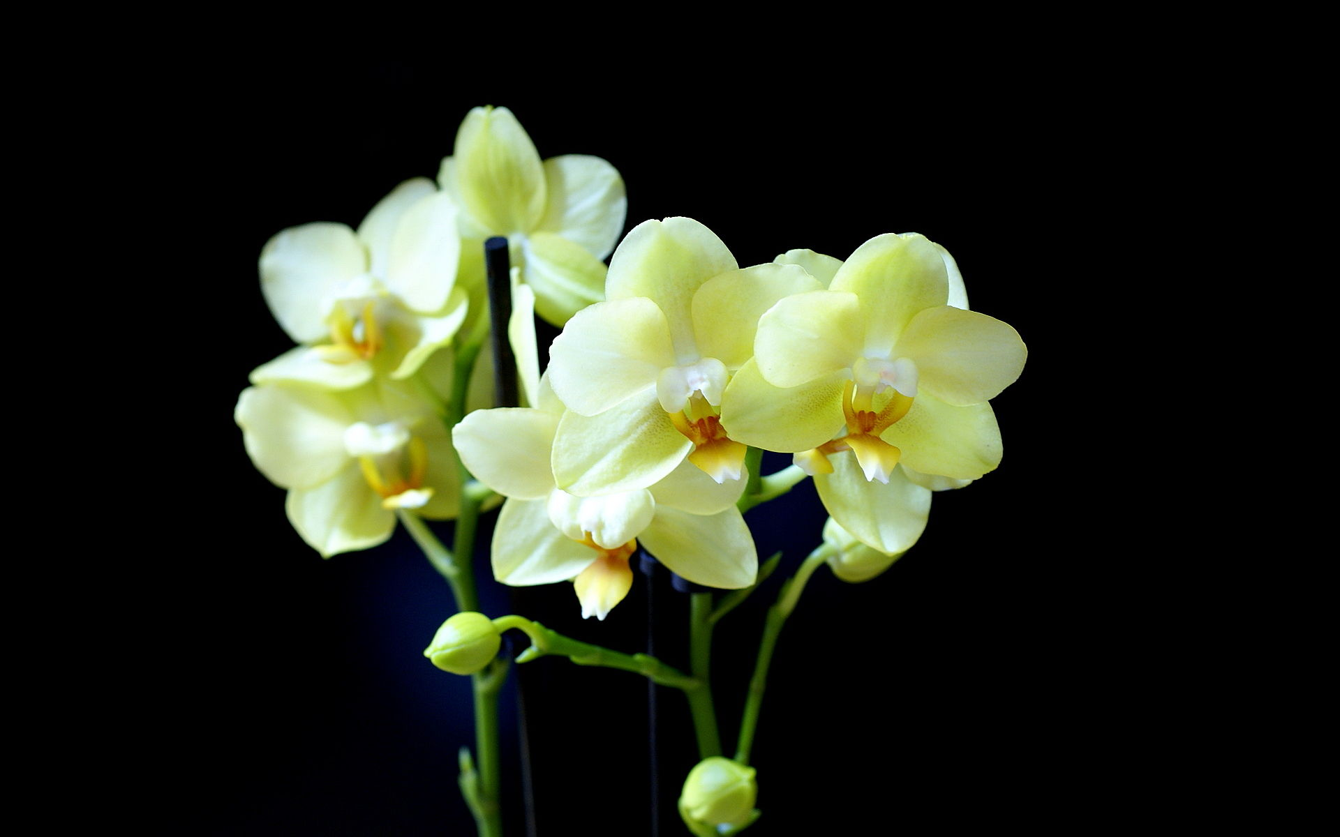 phalaenopsis orchid wallpapers pictures - photo #13