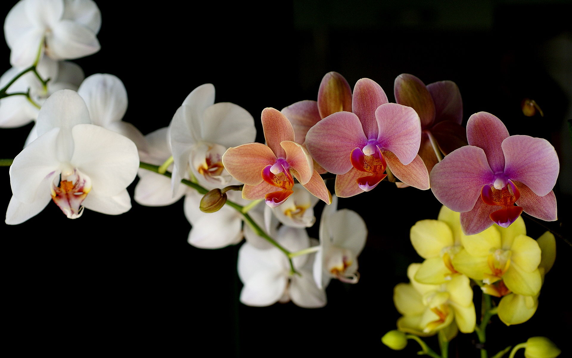 colorful Phalaenopsis orchid, rose, yellow, white orchid wallpaper. photo in