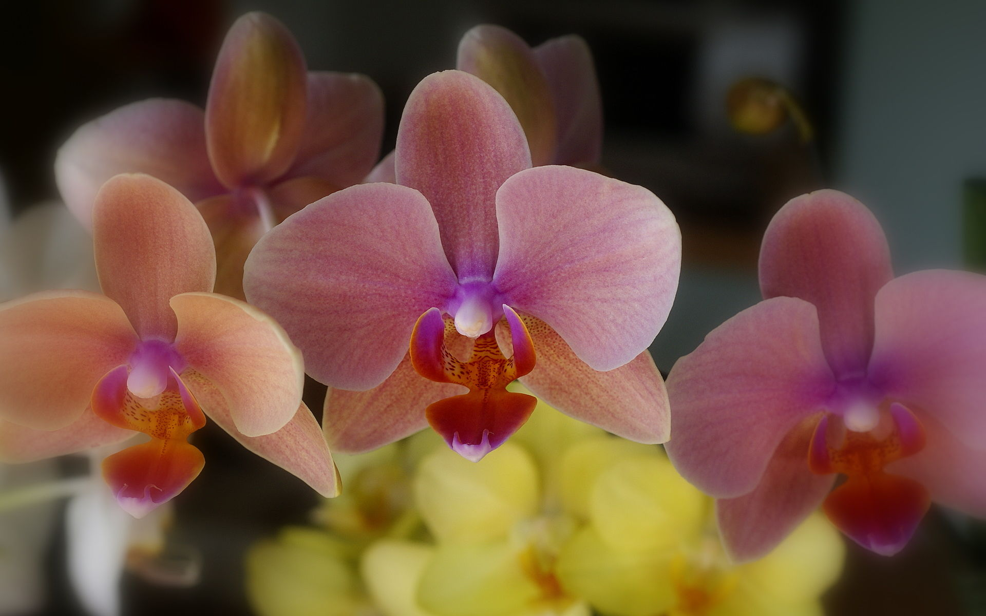 phalaenopsis orchid wallpapers pictures -#main